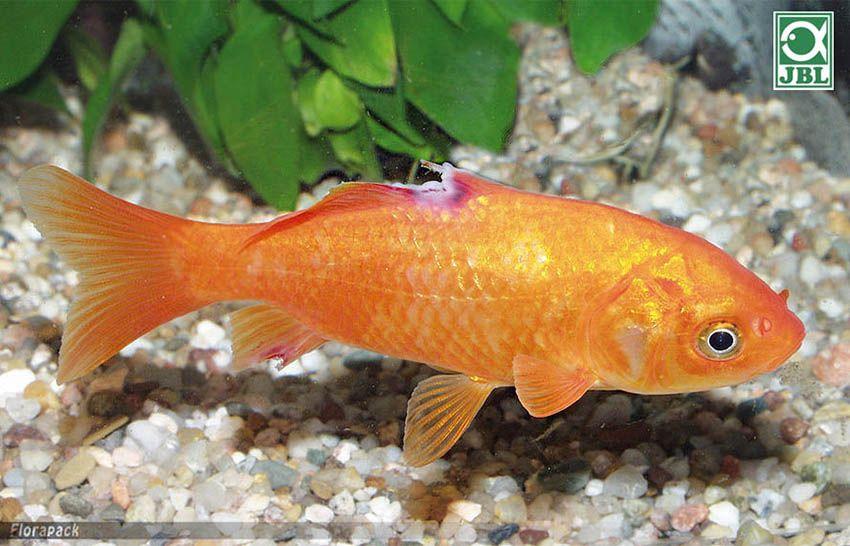 aranyhal kezelés vörös foltok