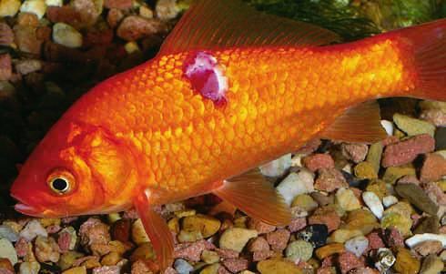 aranyhal kezelés vörös foltok)