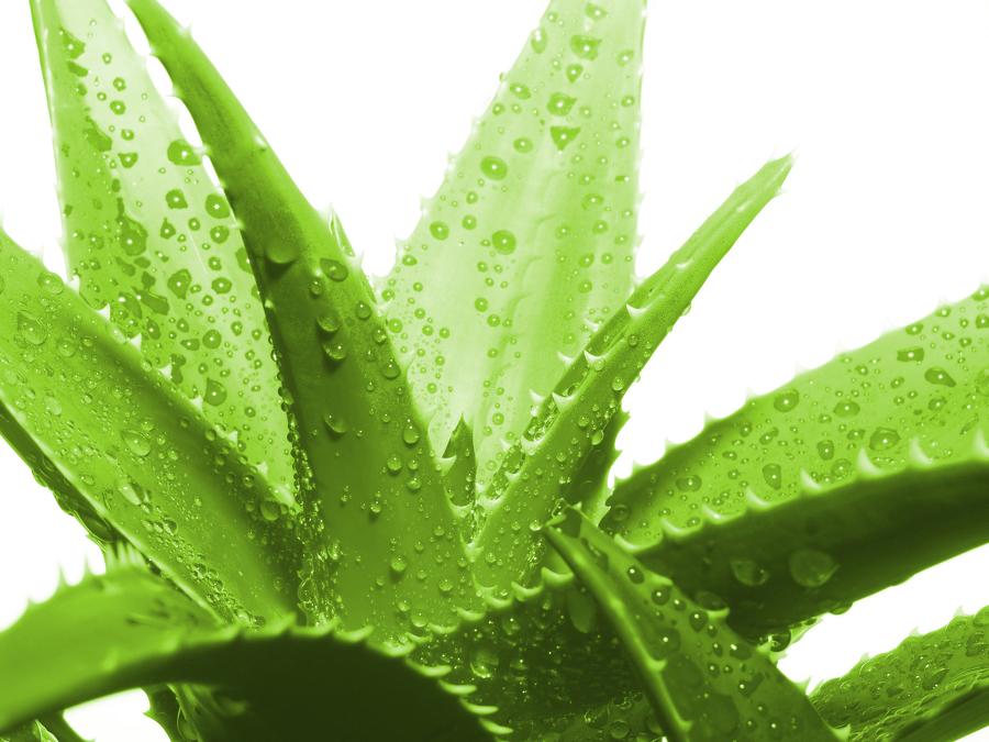 agave pikkelysömör kezelése