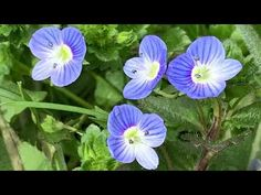 gyógynövények pikkelysömörre belsőleg