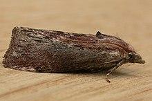 viasz moly pikkelysömör kezelése a bőrt vörös foltok és hólyagok borítják