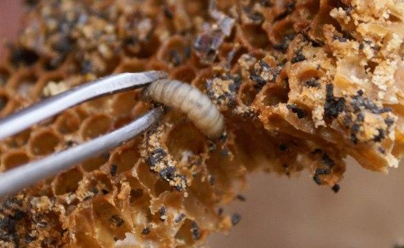 viasz moly pikkelysömör kezelése
