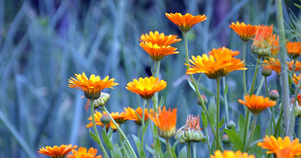 körömvirág gyógynövény és pikkelysömör